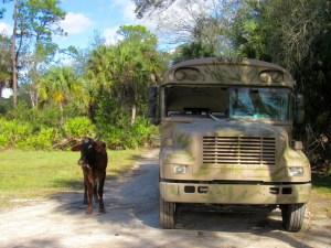 La vache Daisy au Babcock Ranch Preserve, à Punta Gorda en Floride