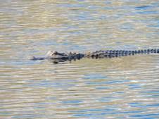 Alligator dans les Everglades au Loxahatchee National Wildlife Refuge à Boynton Beach en Floride