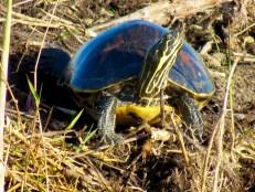 Tortue dans les Everglades au Loxahatchee National Wildlife Refuge à Boynton Beach en Floride