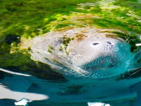 Lamantin au Miami Seaquarium