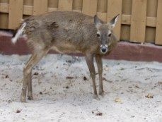 Un cerf au Miami Seaquarium