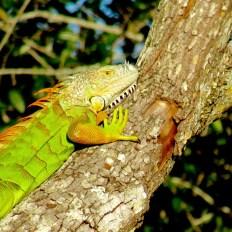 Iguane au parc Okeeheelee Park de West Palm Beach en Floride