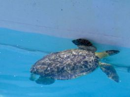 Tortue de mer au Clearwater Marine Aquarium