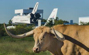 Vache Longhorn près du Space Center de Houston