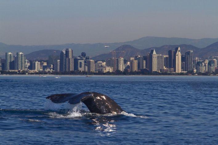 Baleine devant la skyline de San Diego