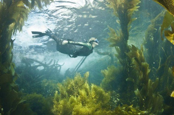 Snorkeling dans une forêt de Kelp à La Jolla Cove