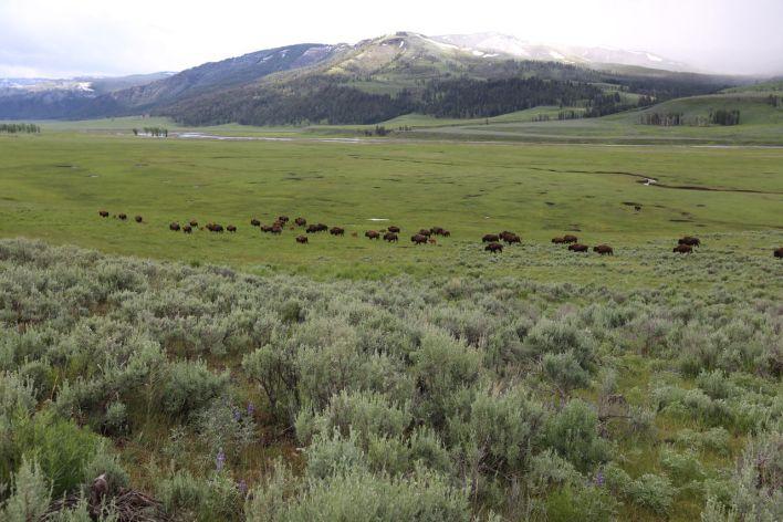 Lamar Valley à Yellowtone