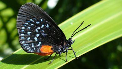 Le Papillon Atala.