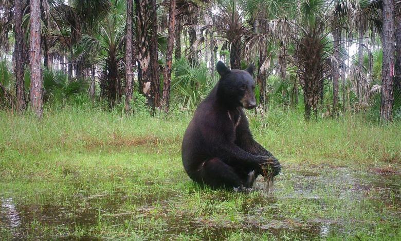 Ours faisant du yoga dans les Everglades