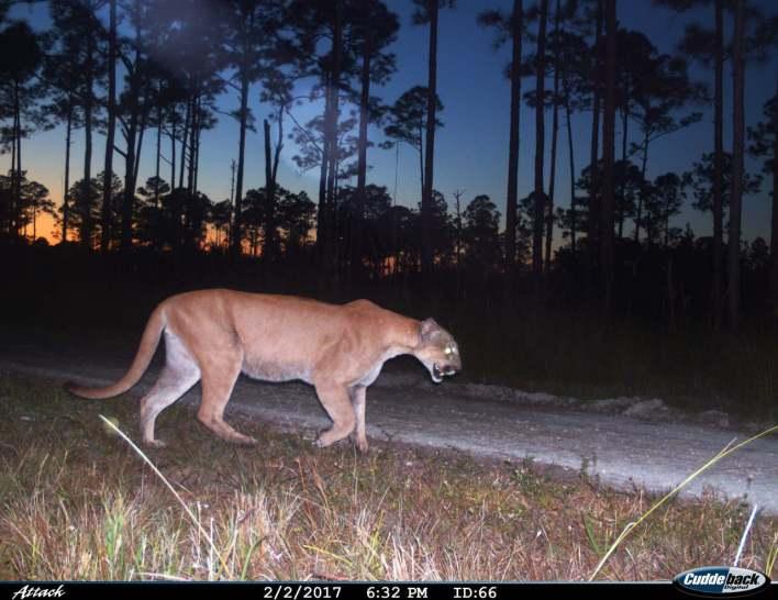 Panthère dans le sud de la Floride