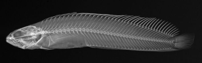 Expo X-Ray Vision: Fish Inside Out au Frost Science Museum.