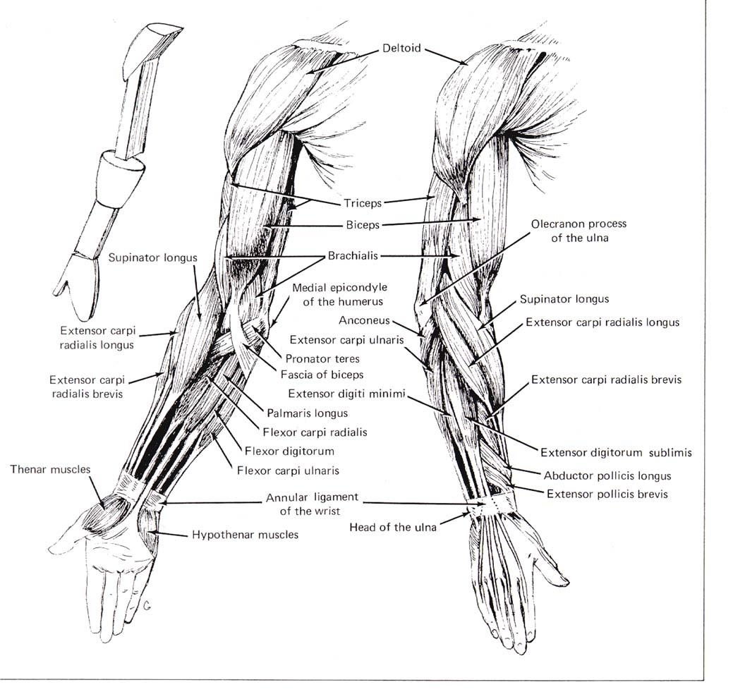 hight resolution of cse490ca spr2000 reference materials rh courses cs washington edu human hand diagram human brain diagram