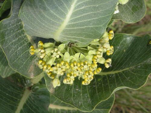 Broadleaf Milkweed