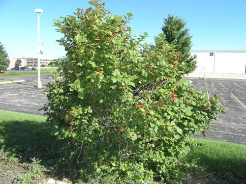 Tall Red Leaf Plant