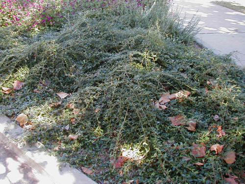 Willowleaf Cotoneaster