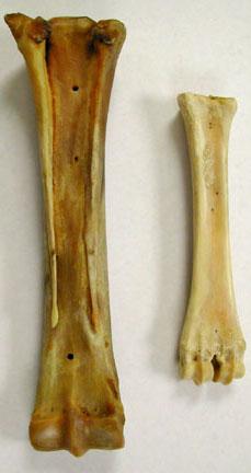 deer skeleton diagram 1994 dodge dakota wiring biology 453 - amniote photos, part 2