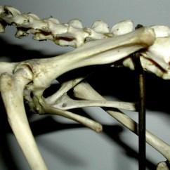 Cat Muscle Anatomy Diagram 94 Honda Prelude Wiring Biology 453 - Amniote Skeleton Photos, Part 2
