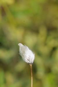 Eriophorum vaginatum