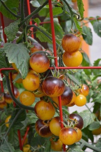 tomates cerises bleues