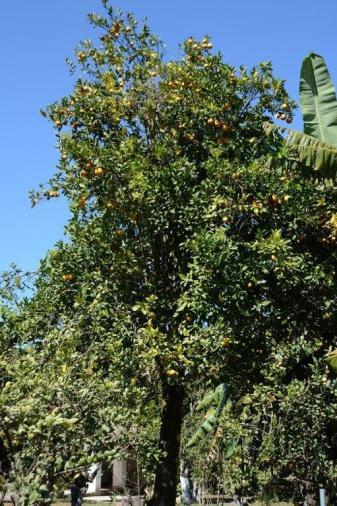 Citrus limon_2