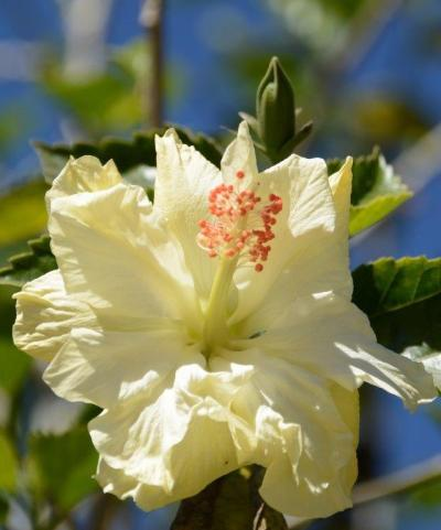 Hibiscus rosa-sinensis_2