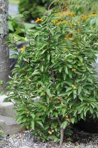 arbuste Malus