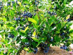 plants de bleuets