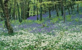 Courtmac Bluebells-C004