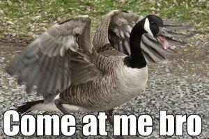 hissing_goose