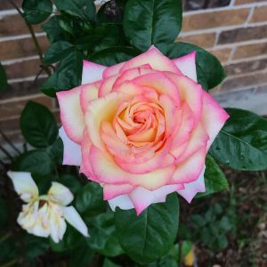 pink and ivory rose in full bloom