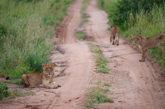Regina Photographer - In Uganda - Paraa Lodge - Lionesses