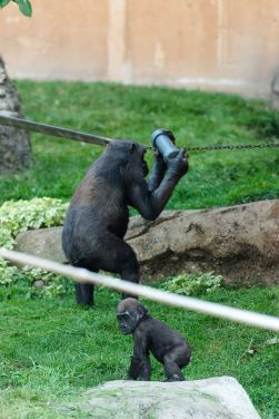 Baby gorilla in the enclosure at the Calgary Zoo
