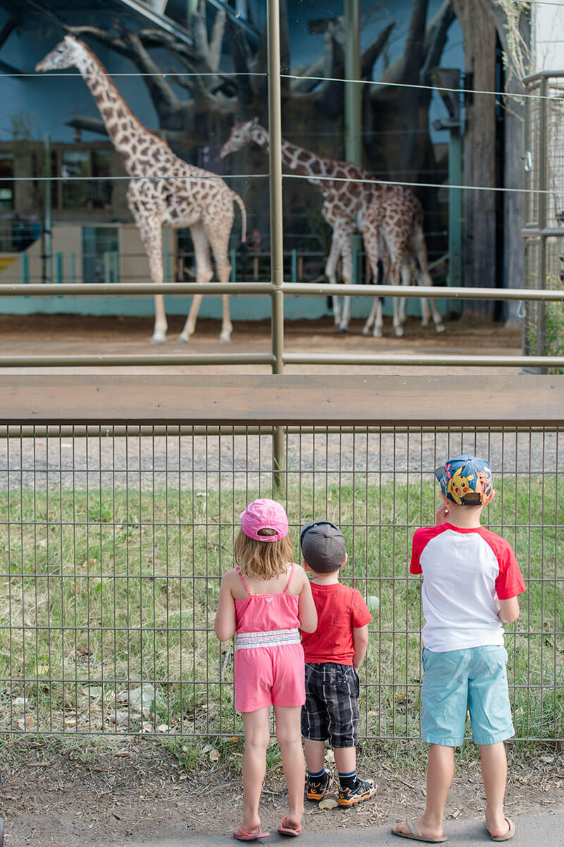 Liske children watching the giraffes at the zoo
