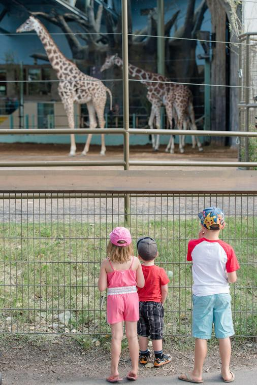 Liske children watching the giraffes at the zoo