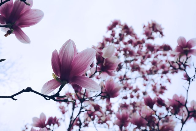 cherry-blossoms-in-new-york-city