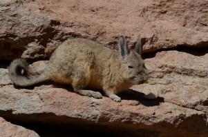 Viscacha. Andean rabbit.