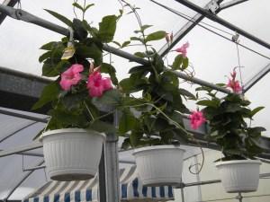 Greenhouse_2016 Mandevilla-Pink44