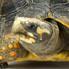 head of a yellow-colored turtle