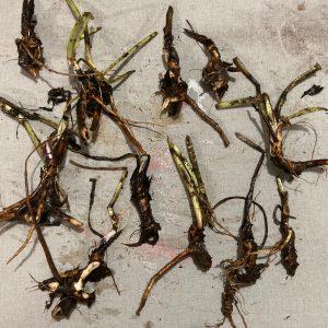 comfrey root crowns russian bocking 14