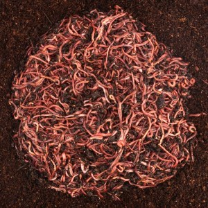 composting worms performance mix