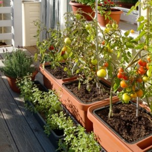 self watering planter tomatoes