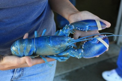 Blue Lobster, The Big Island, and Olympic Chaplain