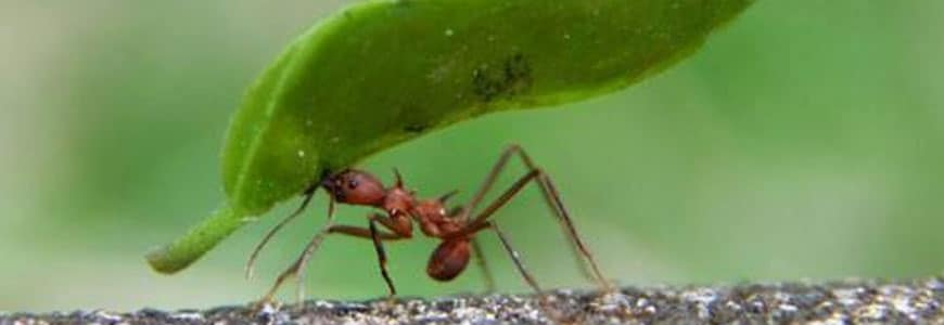 Bug Fact: Ants represent 25% of the insect biomass on the planet!