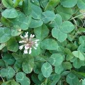 White clover_2