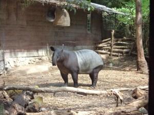 Tapir at Bali Marine and Safari Park