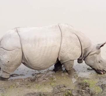 One horned rhino at Kaziranga