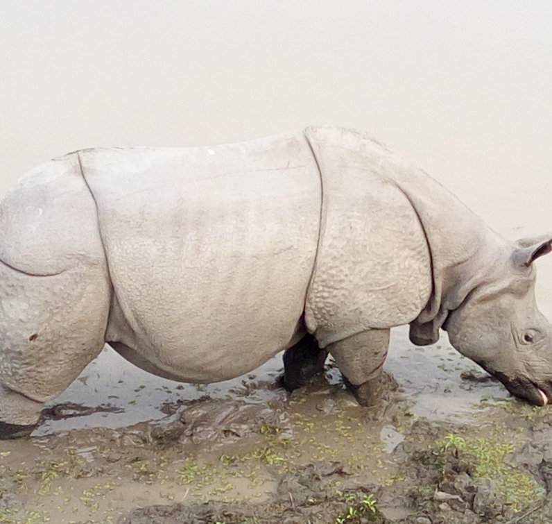 One horned rhino at Kaziranga
