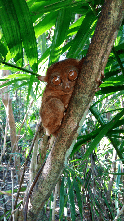 Thats an adult tarsier