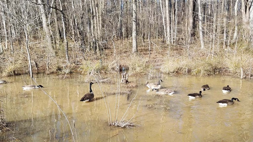 Geese in the shallow water near the boardwalk