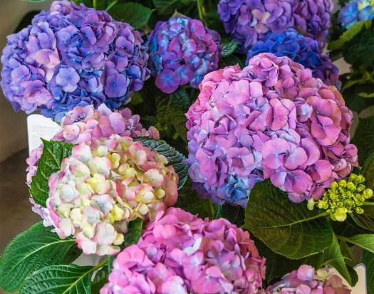 Beautiful colourful Hydrangea flowers in kent